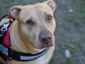 A pit bull service dog
